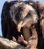 eagle_of_maryland2008