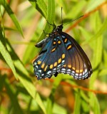 Red- Spotted Purple