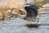 Great Blue Heron and Rainbow Trout