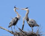Great Blue Herons Mating Ritual