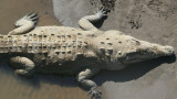 Fat Crocs