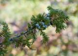 Juniper berries, edge of Pa. Grand Canyon
