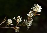 Juneberry- a small tree