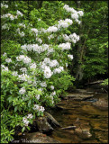 Manor Fork and Mountain Laurel