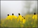 Five coneflowers