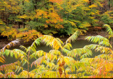The  Autumn Sumac