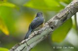 Flycatcher, Mangrove Blue (female) @ Sabang