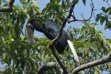 Hornbill, Palawan (female) @ Sabang