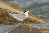 Tern, Lesser Crested @ Nightcliff