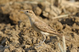 Triller, White-winged (female) @ Mary River Excavation Pits