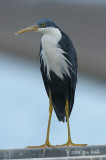 Heron, Pied (breeding) @ Leanyer Sewage Works