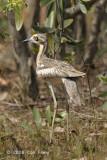 Stone-curlew, Bush @ near Palmerston