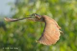 Heron, Nankeen Night (flight) @ Yellow Water