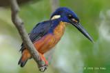 Kingfisher, Azure @ Yellow Water