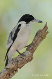 Butcherbird, Silver-backed @ Adelaide River on Stuart Hwy