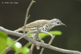 Honeyeater, Bar-breasted @ Howard Springs Nature Reserve
