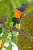 Lorikeet, Red-collared