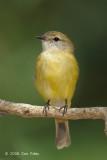 Flycatcher, Lemon-bellied @ Casuarina Coastal Reserve