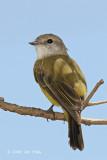 Flycatcher, Lemon-bellied @ Adelaide River on Stuart Hwy