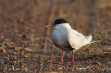 Tern, Whiskered @ Leanyer Sewage Works