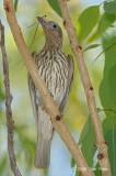 Figbird, Australian (female) @ Adelaide River on Stuart Hwy