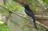 Drongo, Spangled @ Howard Springs Nature Reserve