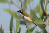 Honeyeater, White-throated @ Mary River Excavation Pits