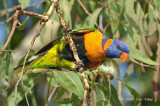Lorikeet, Red-collared (male) @ Adelaide River on Stuart Hwy