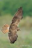 Harrier, Eastern Marsh (female) @ Changi