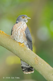 Cuckoo, Hodgson's Hawk (adult) @ Jurong Lakeside