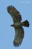 Eagle, Changeable Hawk (pale morph) @ Bidadari