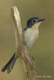 Flycatcher, Broad-billed (female) @ Fogg Dam