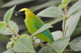 Leafbird, Blue-winged (male)