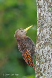 Woodpecker, Bay (male) @ Jalan Richmond