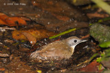 Babbler, Short-tailed @ MacRitchie