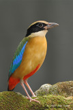 Pitta, Blue-winged