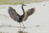 Heron, Great-billed @ Chek Jawa
