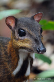 Mouse Deer, Lesser @ Lower Peirce