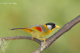 Mesia, Silver-eared @ Jalan Lady Guillemard
