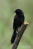 Shama, Black (male) @ Nug-as Forest