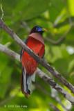 Trogon, Philippine (male) @ Rajah Sikatuna National Park