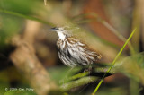 Babbler, Striated Wren-