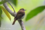 Flycatcher, Chestnut-tailed Jungle @ Rajah Sikatuna National Park