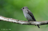 Flycatcher, Grey-streaked @ Caylabne Bay