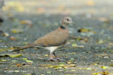 Dove, Philippine Collared @ Caylabne Bay