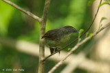 Babbler, Striped Tit @ Palawan
