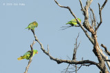 Parrot, Blue-naped @ Subic