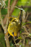 Babbler, Golden