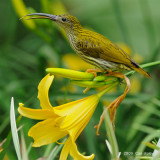 Spiderhunter, Streaked @ Jalan Lady Guillemard