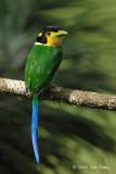 Broadbill, Long-tailed